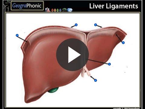 round ligament of liver