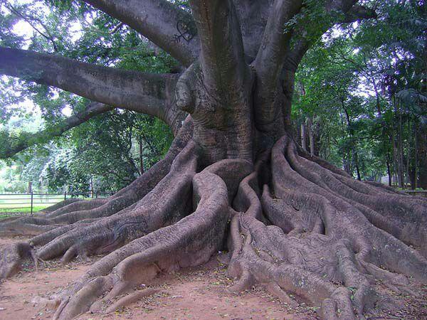 silk-cotton tree