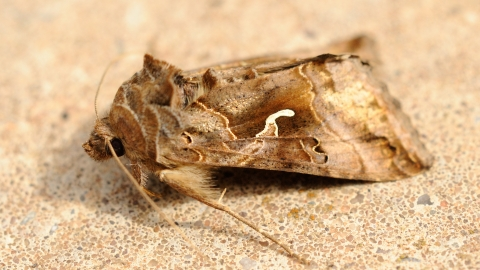 silver-Y moth