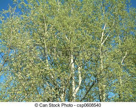 trembling poplar