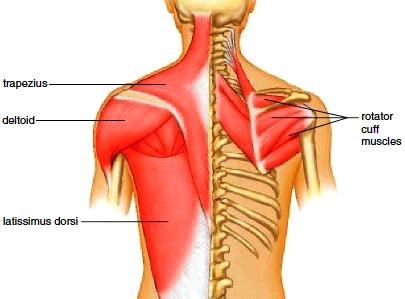 triangular muscle