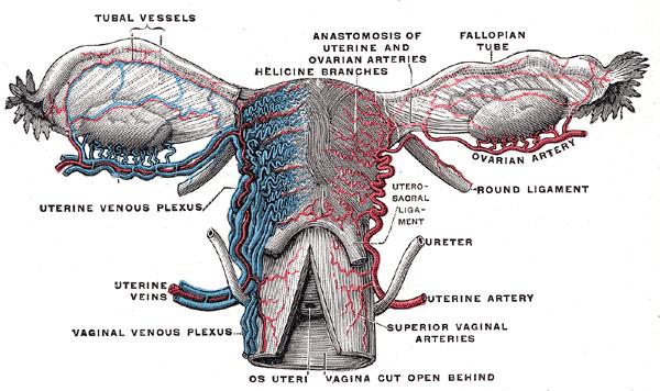 uterine vein