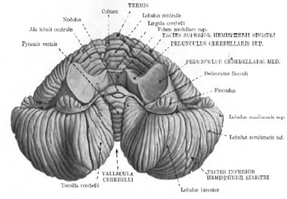 uvula cerebelli