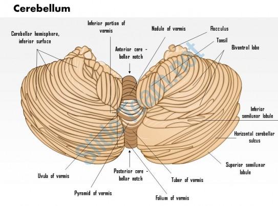 uvula vermis