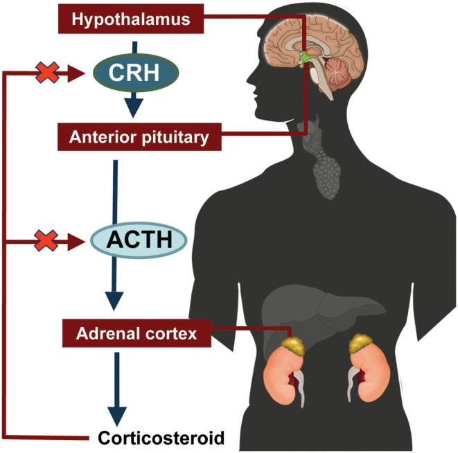 Hypothalamic-pituitary-adrenal axis. ACTH, adrenocorticotropic hormone;  CRH, corticotropin-