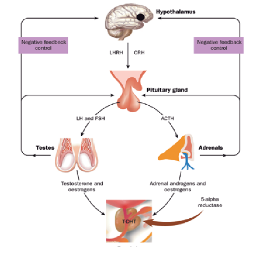 Endocrine regulation of prostate growth. ACTH: adrenocorticotropic hormone;  CRH: corticotropin-releasing