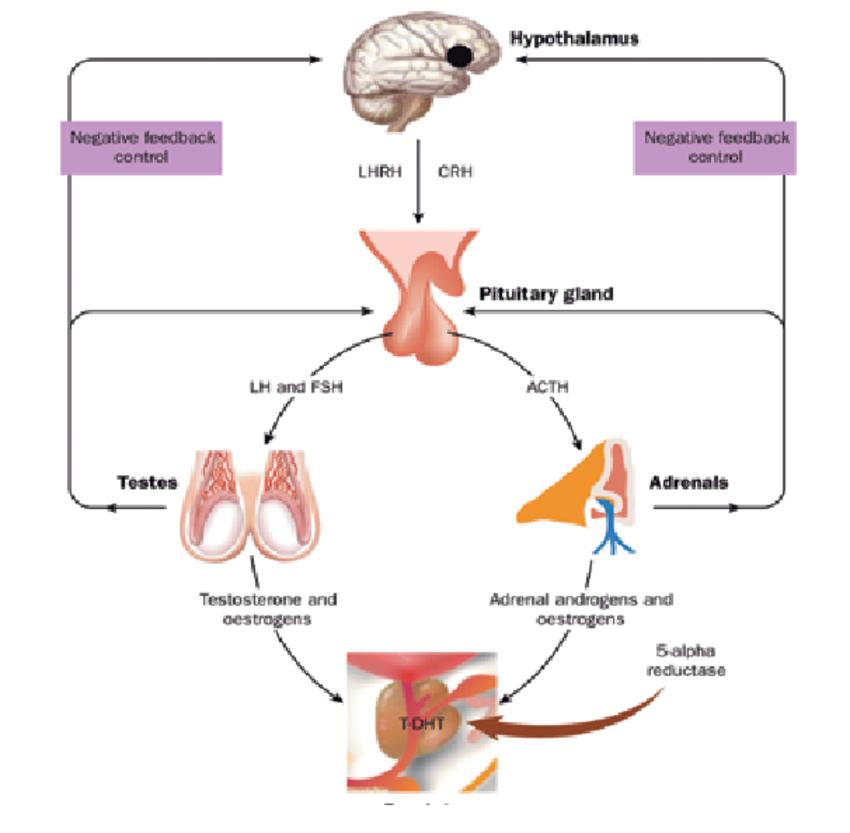 Endocrine regulation of prostate growth. ACTH: adrenocorticotropic hormone;  CRH: corticotropin-releasing