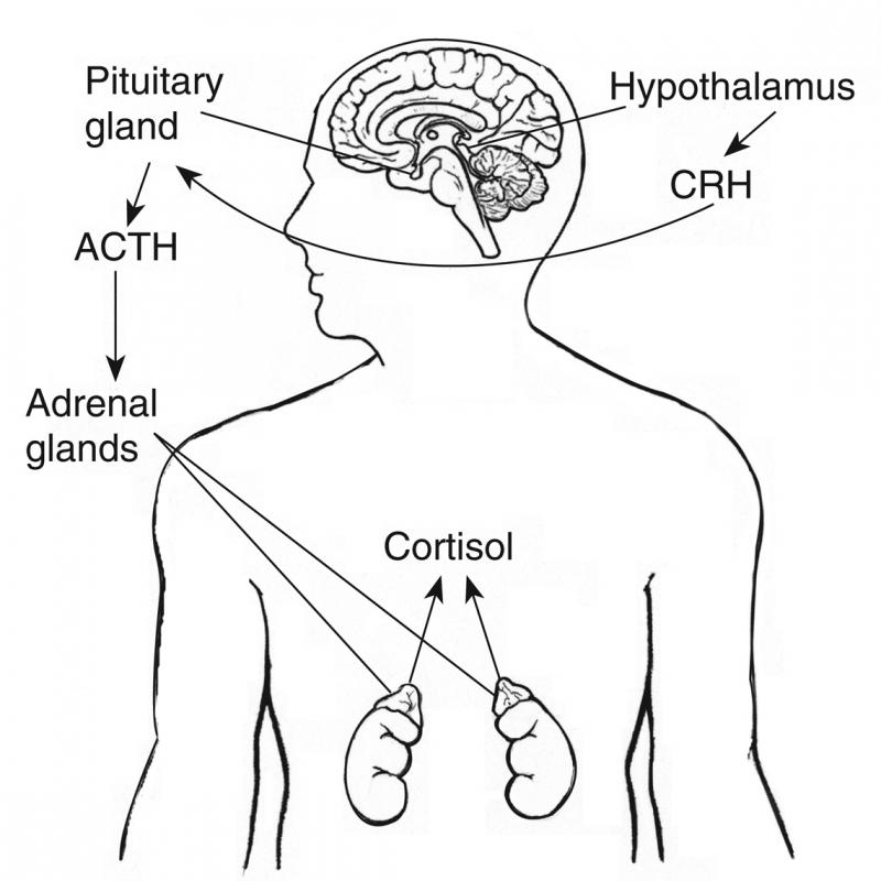 Drawing of adrenal feedback system