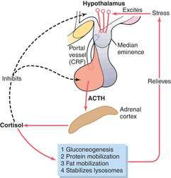 Adrenocorticotropic hormone   definition of adrenocorticotropic hormone by  Medical dictionary