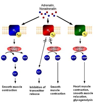 The mechanism of adrenoreceptors. Adrenaline or noradrenaline are receptor  ligands to either α1, α2 or β-adrenoreceptors. α1 couples to Gq, which  results in