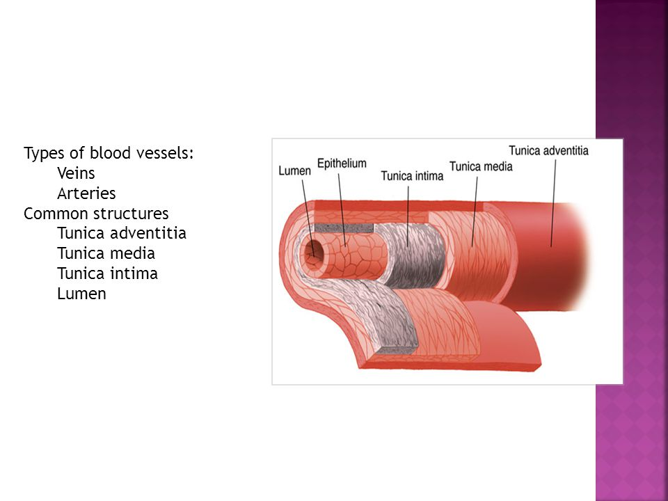 2 Types of blood vessels: Veins Arteries Common structures Tunica adventitia  Tunica media Tunica intima Lumen