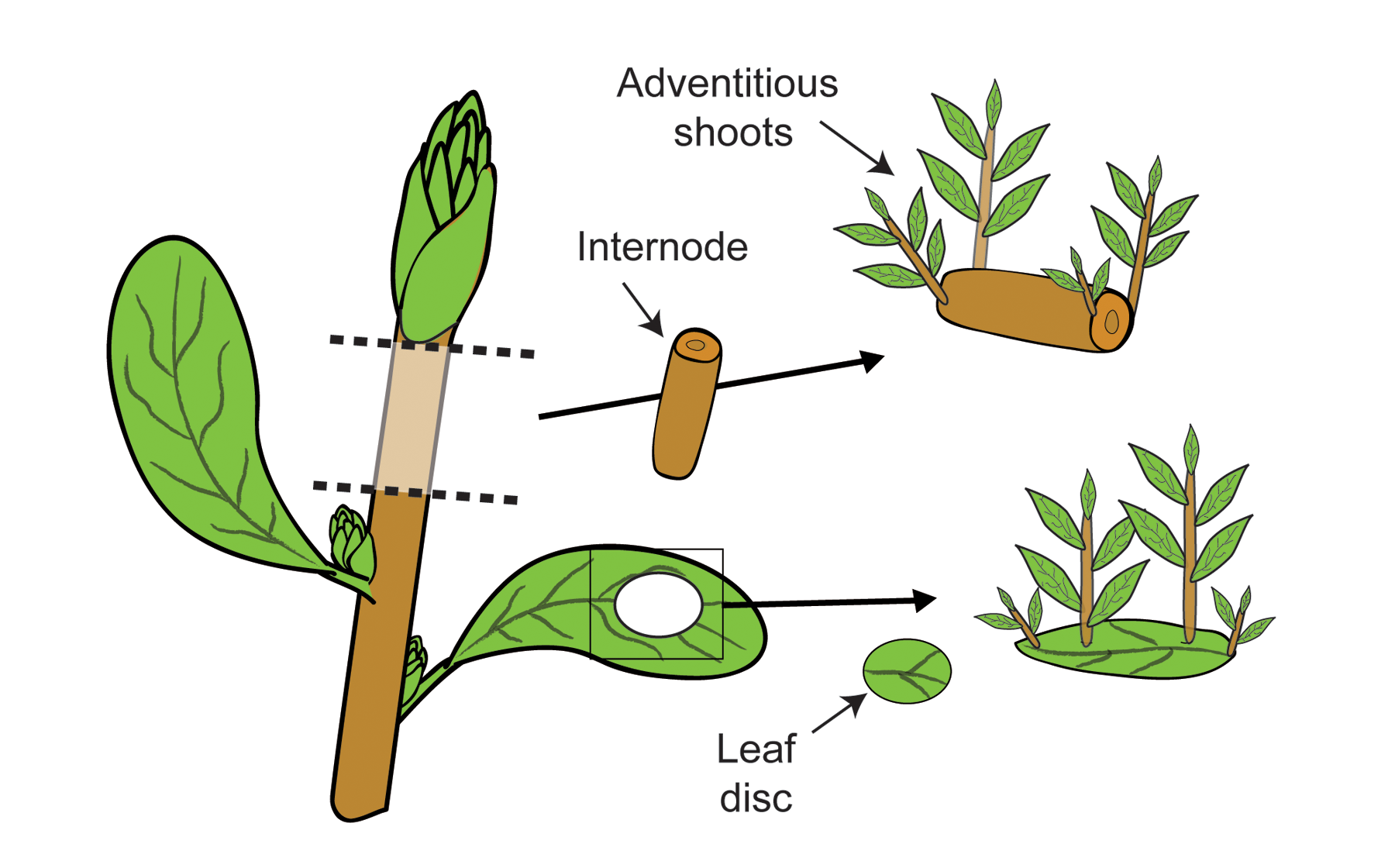 illustration showing portions of portions of plant shoots can arise from