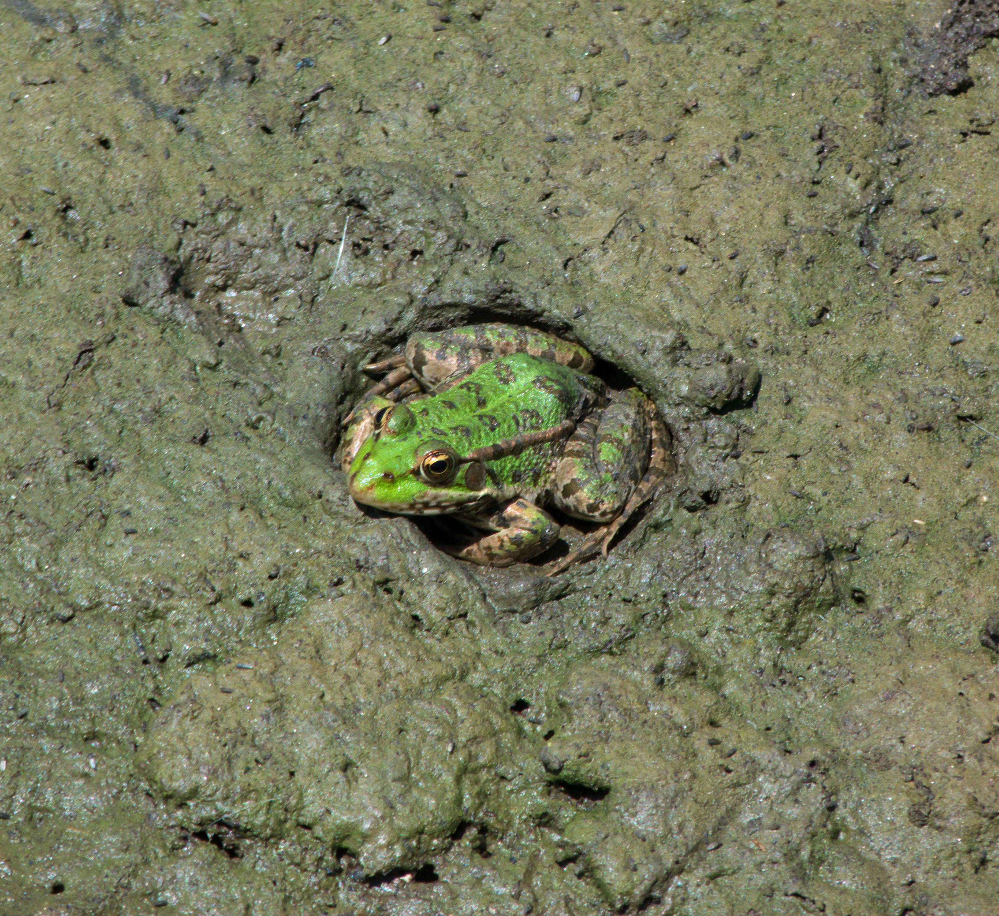 File:Frog about to aestivate Lake Langadas area.jpg