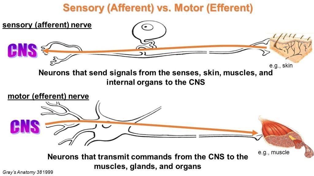 Afferent Nerve Fiber Wikipedia Efferent And Afferent Neurons, Turrets  Disease On Emaze Efferent And Afferent