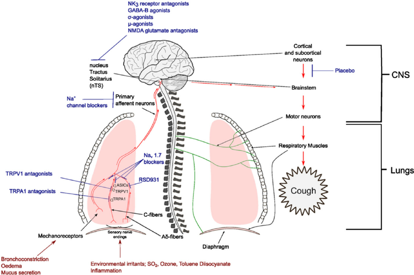 Multiple vagal afferent nerve subtypes innervate the airways and lungs.