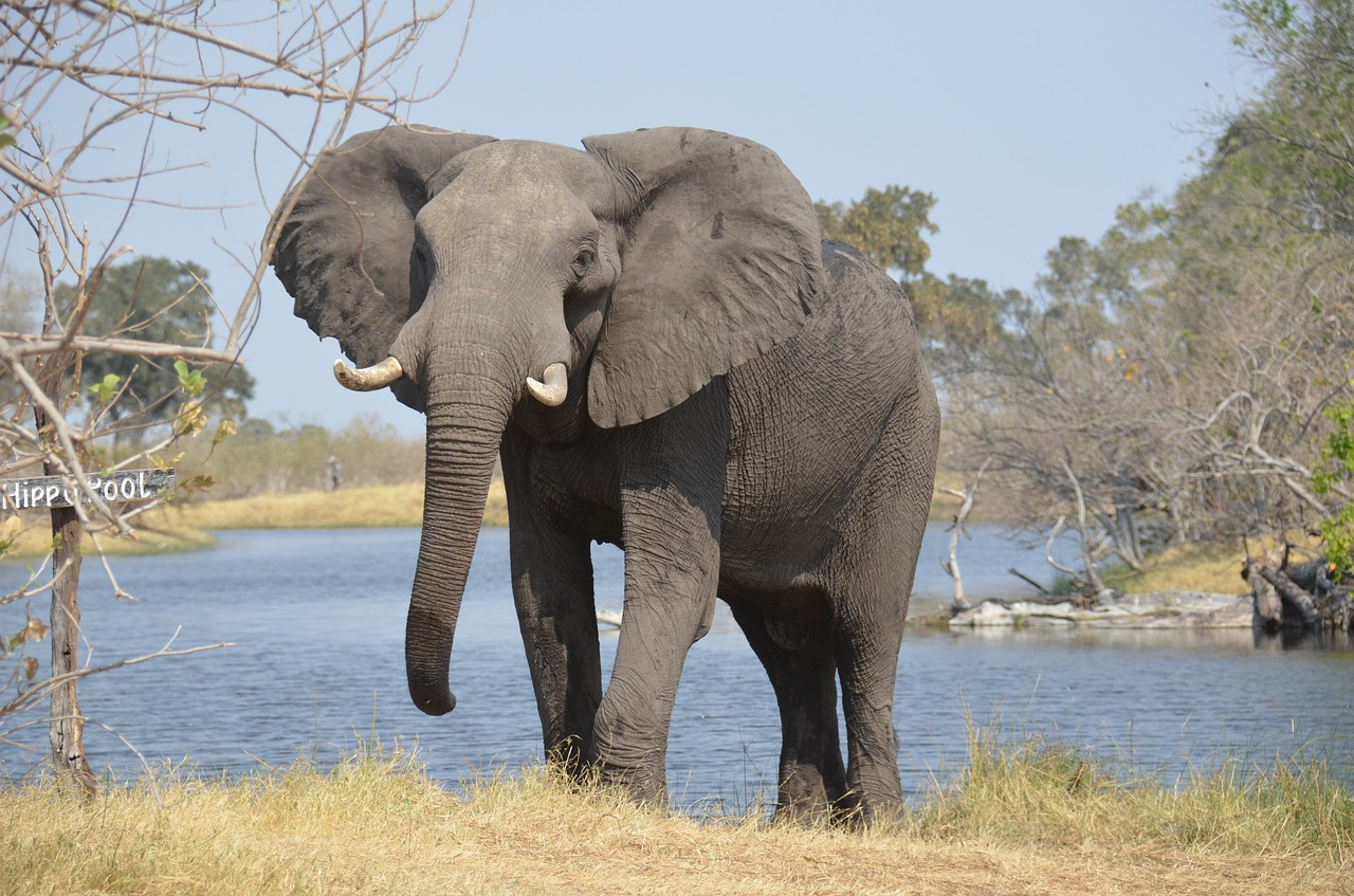 Poachers target elephants because their tusks can be worth a lot of money  on the black