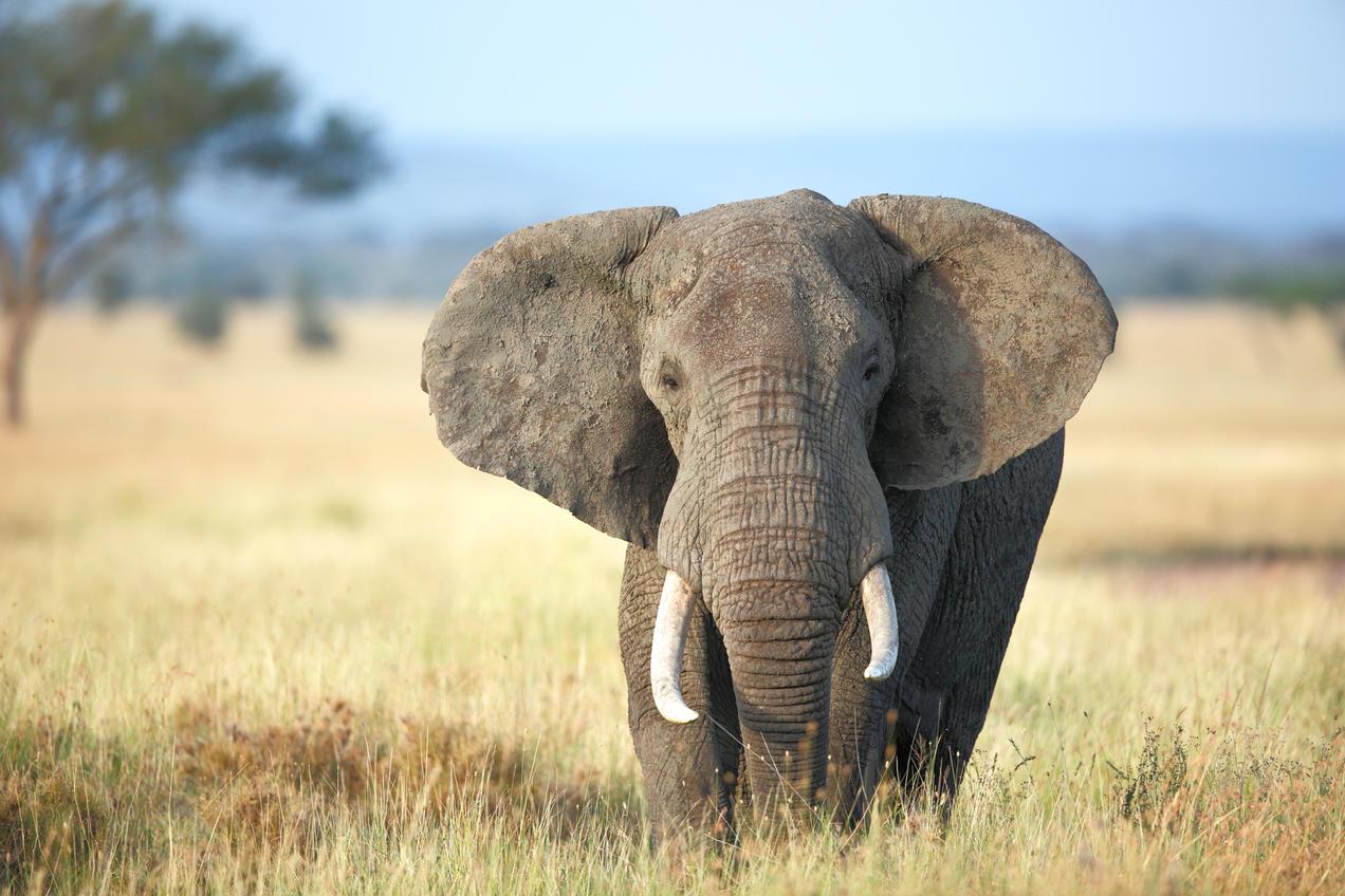 Paul Tessier/Stocksy. Are African elephants endangered?