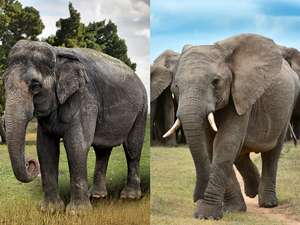 Asian and African elephant side by side