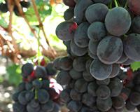 african grape