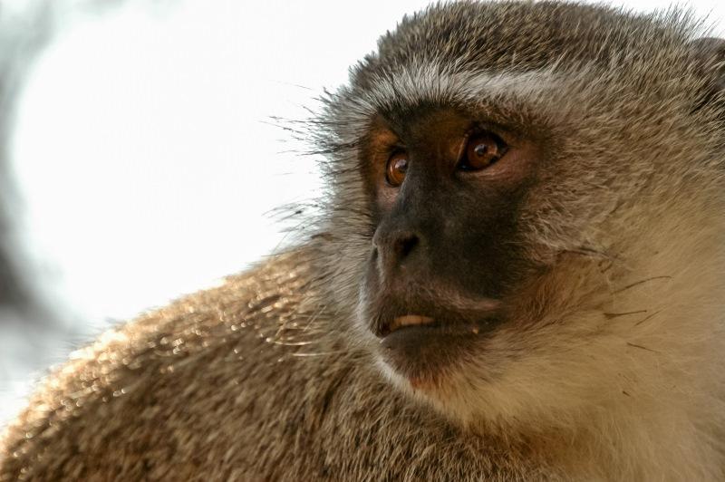 African Green Monkey Portrait