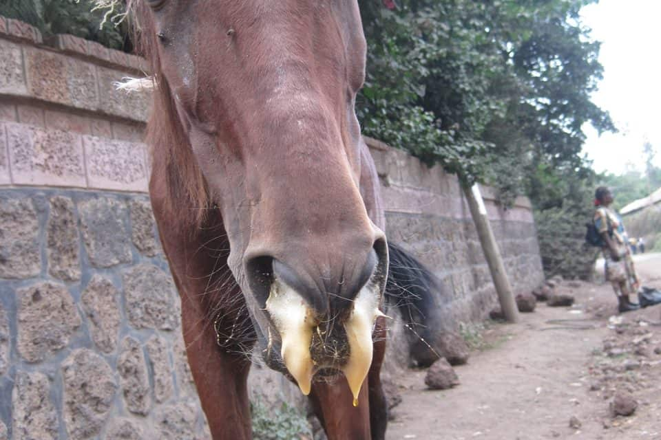 British Charity Works to Fight African Horse Sickness