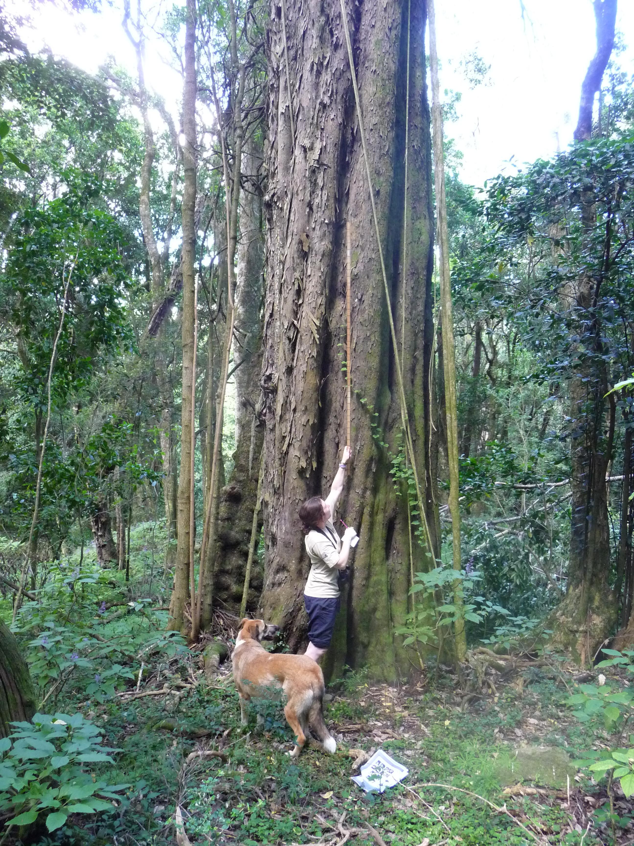 african yellowwood