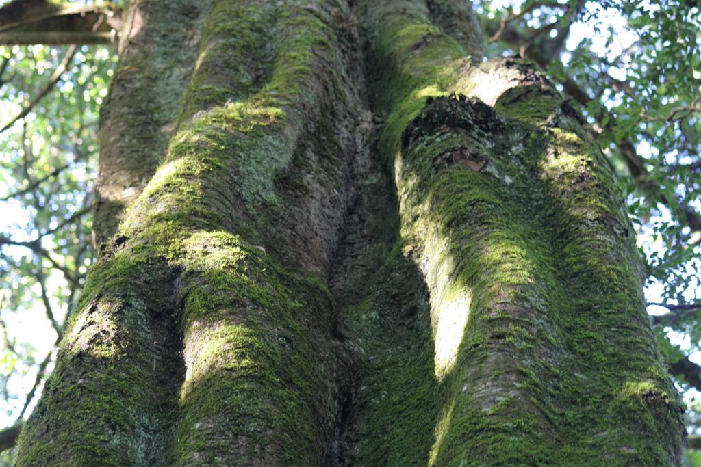 Large Yellowwood Tree by Monkey Boy
