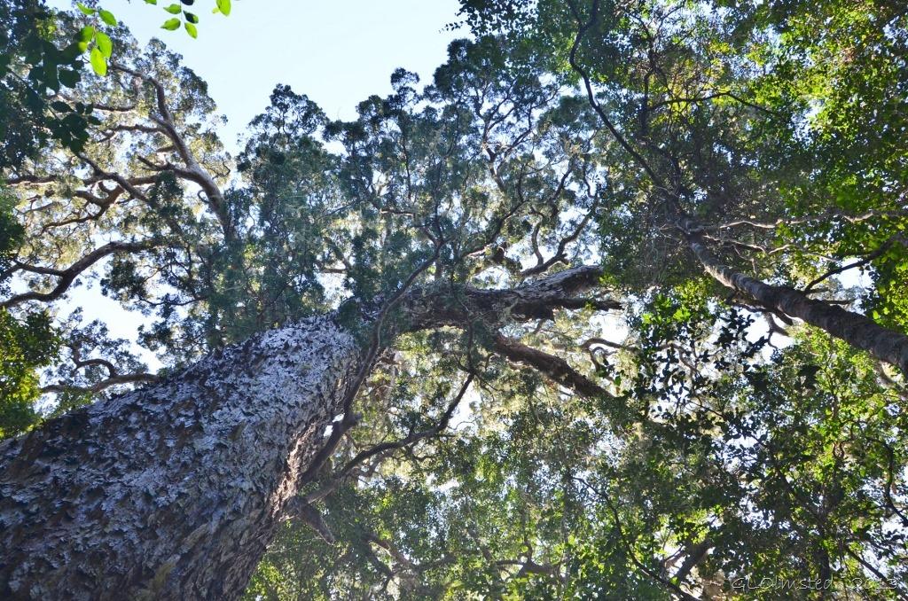 Tsitsikamma Big Tree - Geogypsy