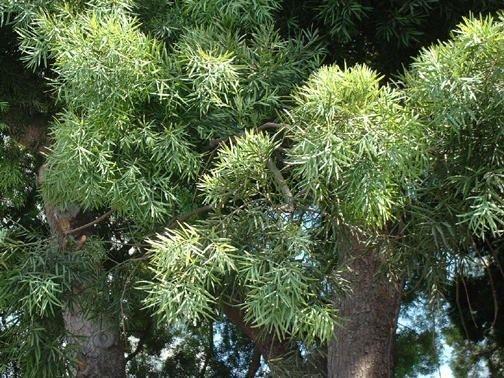 East African Yellowwood (Afrocarpus gracilior)