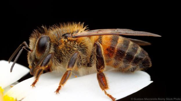View image of An Africanized honey bee (Credit: Gustavo Mazzarollo/Alamy  Stock Photo)