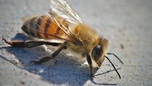 africanized bee