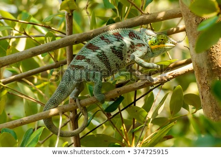 Furcifer pardalis: A Panther Chameleon feeling aggressed