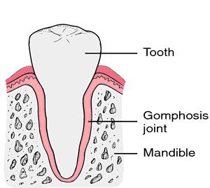 agomphosis