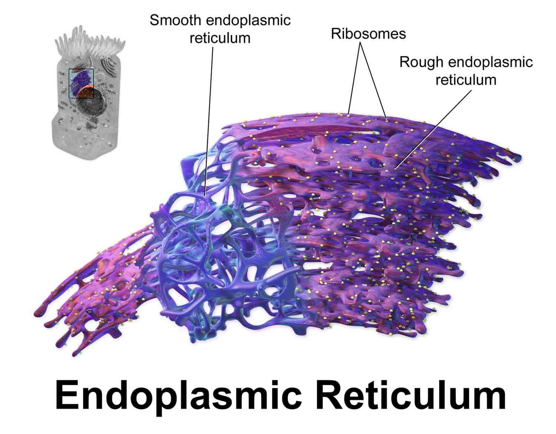[I] Agranular reticulum: