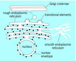 Agranular endoplasmic reticulum | Article about agranular endoplasmic  reticulum by The Free Dictionary