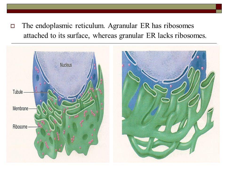 agranular endoplasmic reticulum