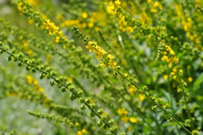 Agrimony Plant Info: Learn How To Grow Agrimony Herbs