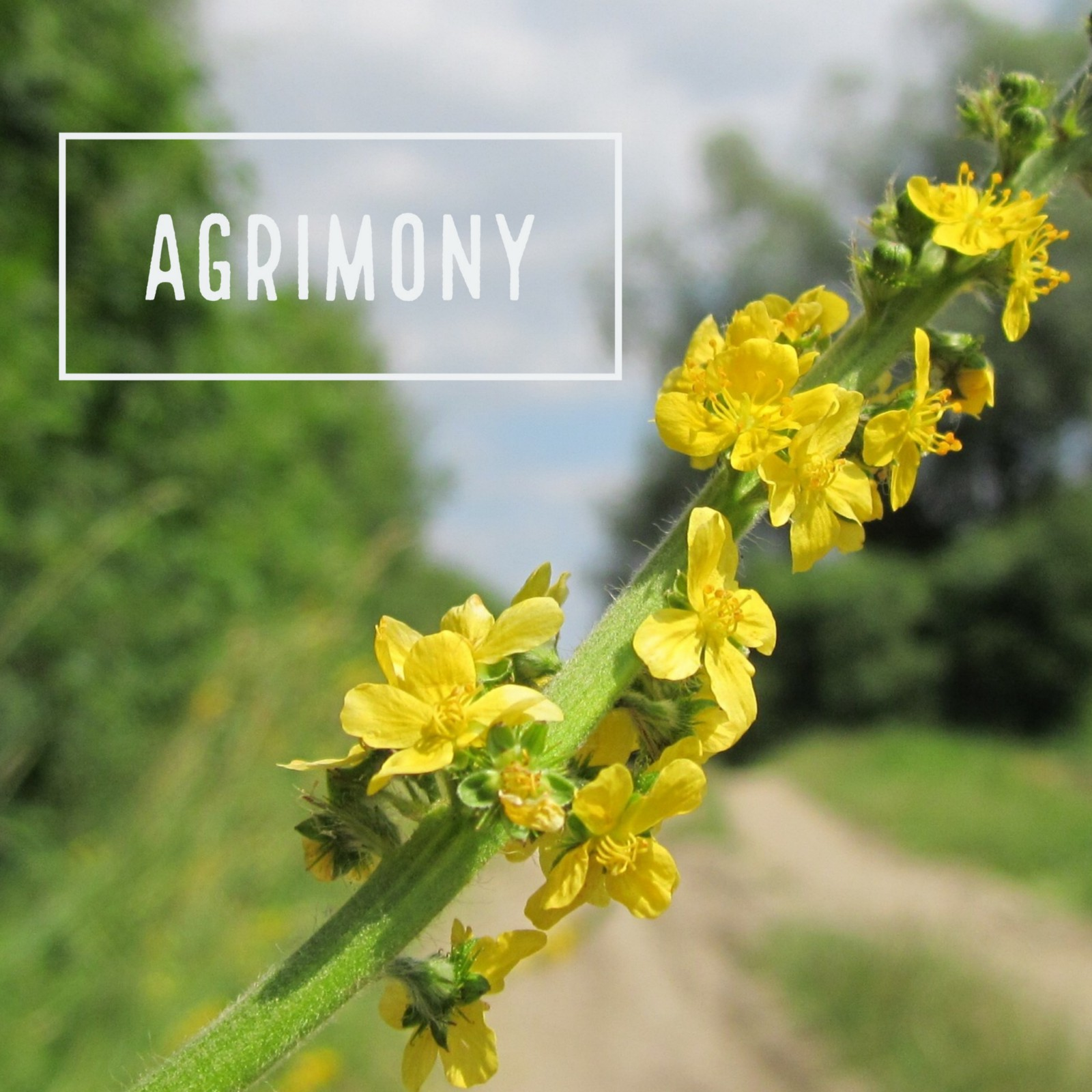 Agrimony people are not willing to admit even to themselves that they have  a problem. When they are out of balance they are first dishonest with  themselves