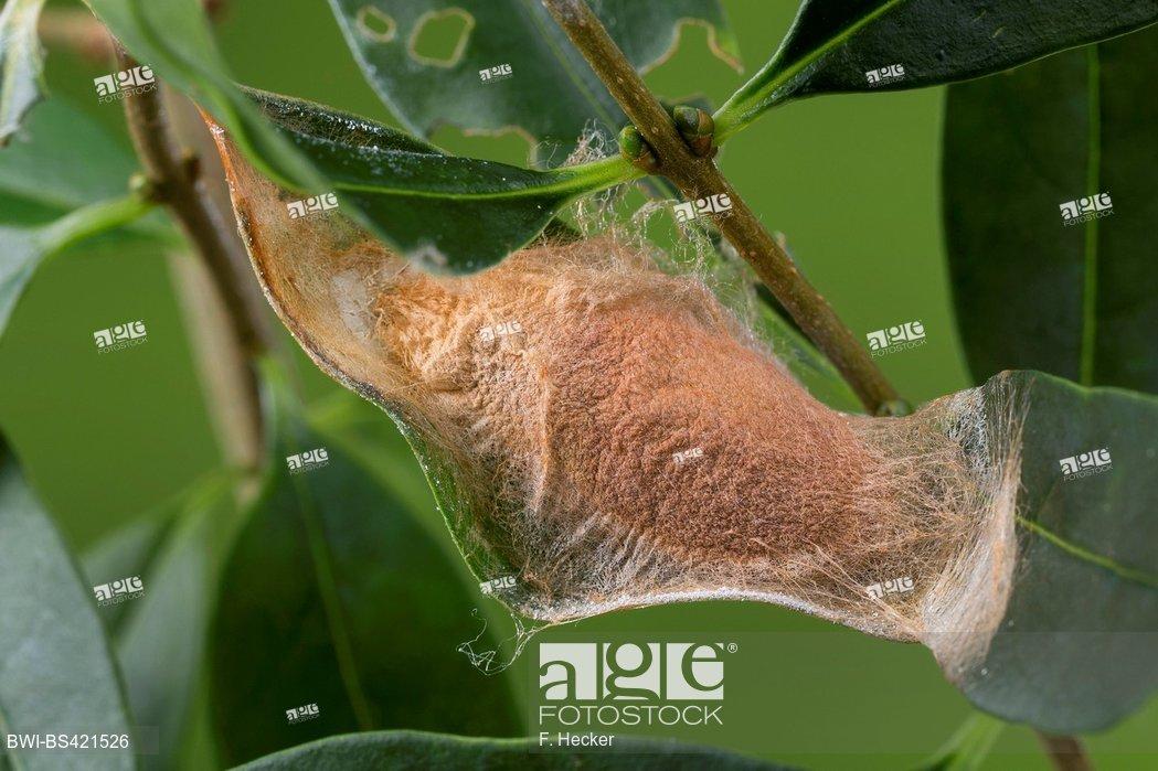 Foto de stock - Cynthia silkmoth, ailanthus silkworm (Philosamia cynthia,  Samia cynthia, Platysamia cynthia), pupa, Germany