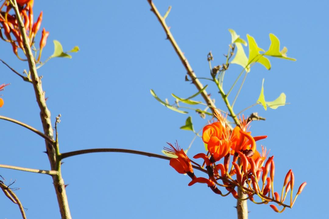 bats-wing coral-tree