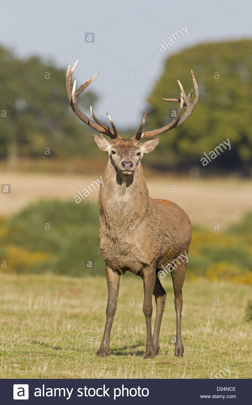 Red Deer Cervus elaphus stag with broken bay antler from recent fight  standing on grass in field during rutting season Minsmere