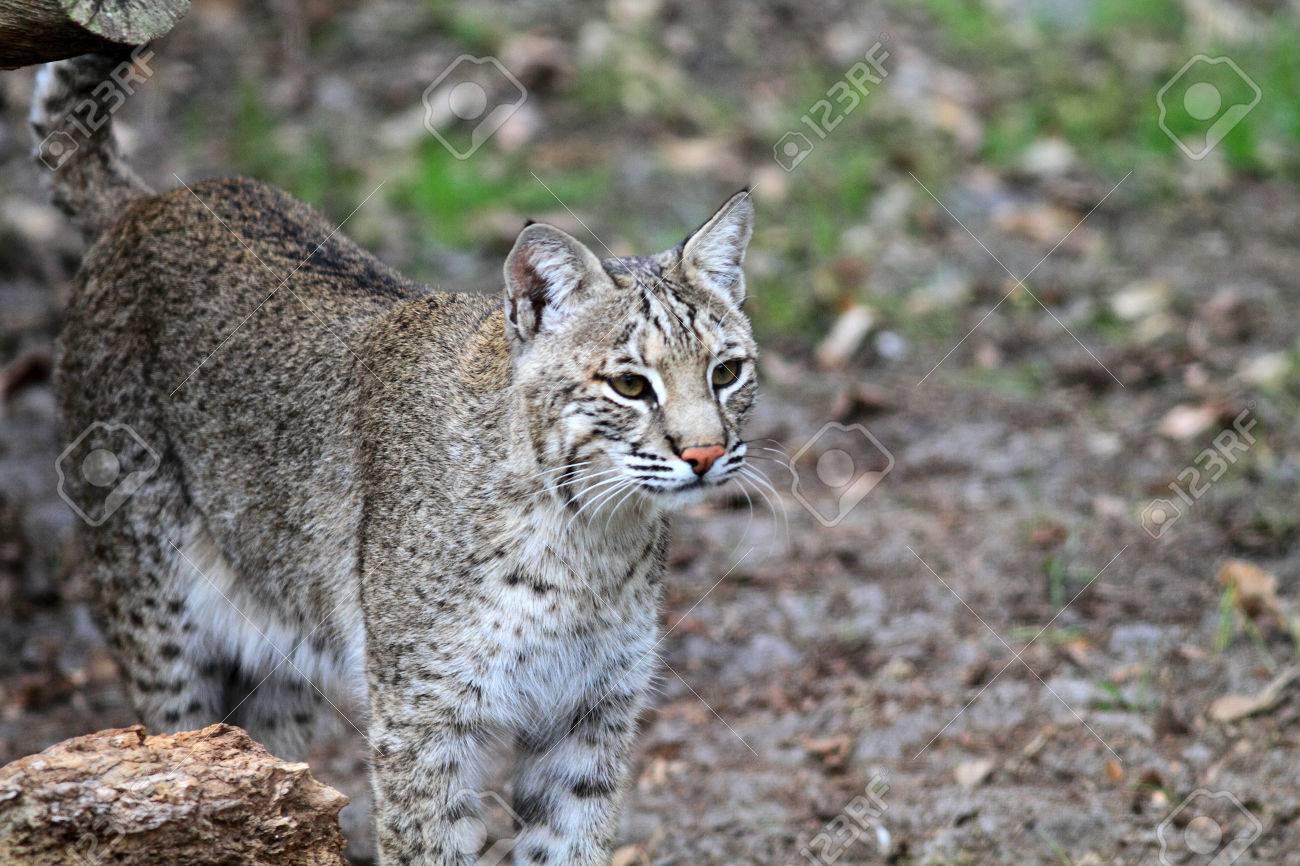 Bobcat or Bay Lynx (Lynx rufus) in Florida, North America Stock Photo -