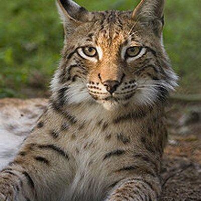 Thunder Bay Lynx