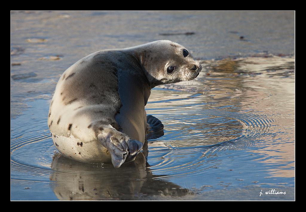 Bedlamer - Harp Seal | by Tomcod