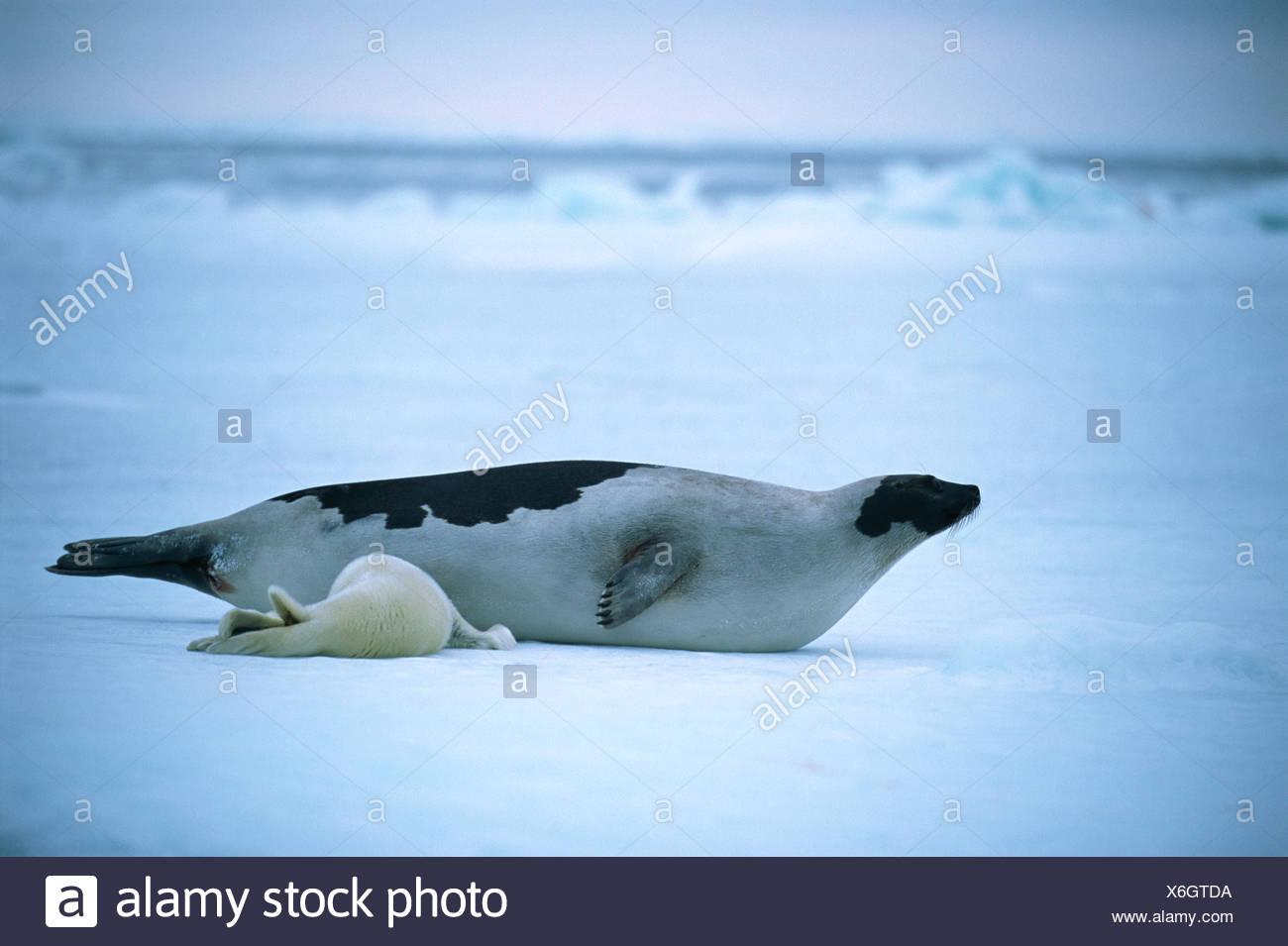Enfermería bebé foca Imagen De Stock