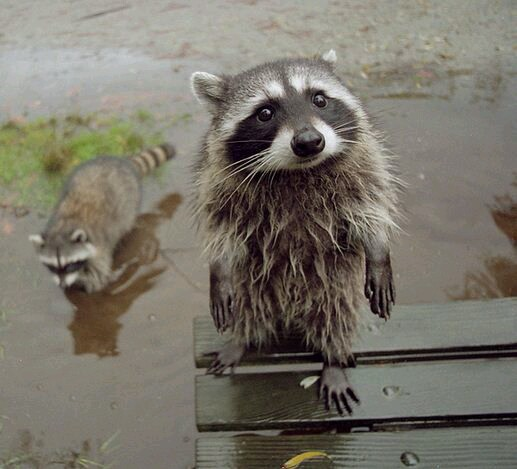 Bedraggled raccoon.