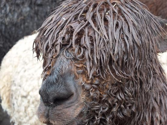 Hensting Alpacas: Slightly bedraggled.