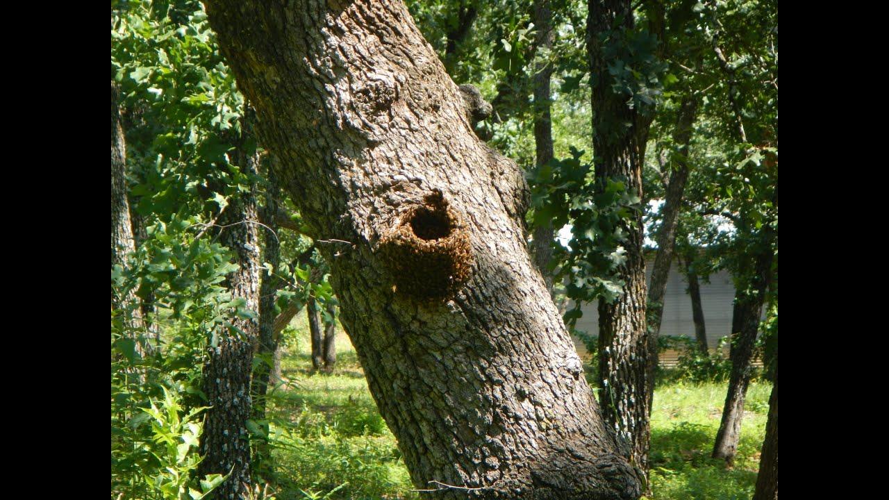 Bee Tree Removal - Honeybees