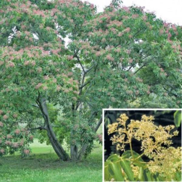 Bee Bee Tree (Tetradium daniellii)