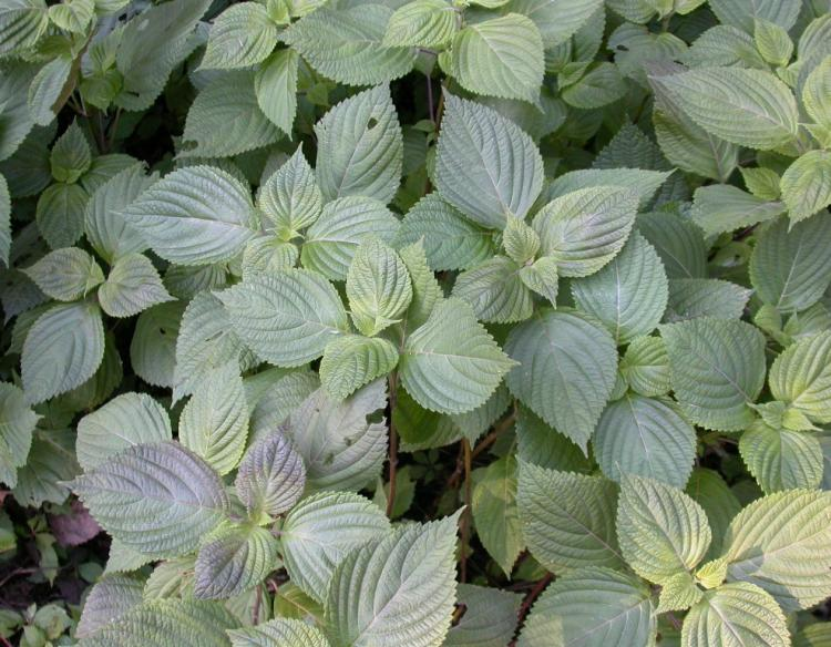 Photo of a colony of beefsteak plants showing foliage tops
